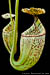 BE-3042 Nepenthes burbidgeae - lower pitchers