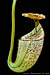 BE-3042 Nepenthes burbidgeae - lower piitcher