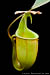 BE-3031 Nepenthes bicalcarata - upper pitcher