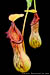 BE-3254 Nepenthes burkei - pair of lower pitchers