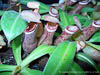 BE-3003 Nepenthes albomarginata - lower pitchers 2
