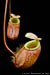 BE-3026 Nepenthes bellii - pair of lower pitchers