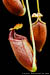 BE-3123 Nepenthes mira - lower pitchers