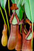 BE-3135 Nepenthes petiolata - lower pitchers