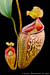 BE-3187 Nepenthes talangensis - pair of lower pitchers