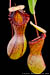 BE-3278 Nepenthes ventricosa - Madja-as - lower pitchers 2
