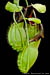 BE-3175 Nepenthes spathulata - lower pitchers