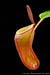 BE-3062 Nepenthes dubia - upper pitcher