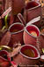 BE-3009 Nepenthes ampullaria 'William's Red' - basal cluster 2
