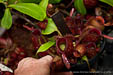 BE-3011Nepenthes ampullaria 'Cantley's Red' - cluster of lower pitchers