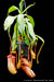 BE-3220 Nepenthes ventricosa x mira - whole plant