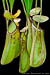BE-3318 Nepenthes albomarginata - lower pitchers