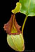 BE-3207 Nepenthes veitchii - lower pitcher