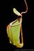 BE-3394 Nepenthes mirabilis var. globosa - upper pitcher