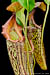 BE-3303 Nepenthes maxima - lower pitchers 1