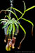 BE-3293 Nepenthes ventricosa x singalana - whole plant