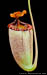 BE-3331 Nepenthes sibuyanensis x mira - lower pitcher