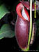 BE-3422 Nepenthes spathulata x gymnamphora - lower pitcher