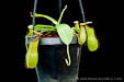 BE-3218 Nepenthes ventricosa x hamata - young plant 1