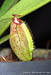BE-3396 Nepenthes spathulata x aristolochioides - juvenile lower pitcher