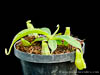 BE-3387 Nepenthes spathulata x boschiana - young plant