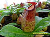 BE-3413 Nepenthes ventricosa x aristolochioides - lower pitcher