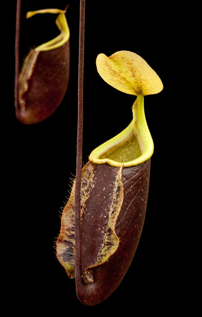 Nepenthes%20_burgundy_lady.jpg